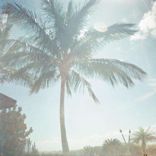 Palm tree, Maui, Hawaii, Diana Mini